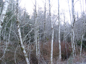 Red Alder patch at wetlands edge